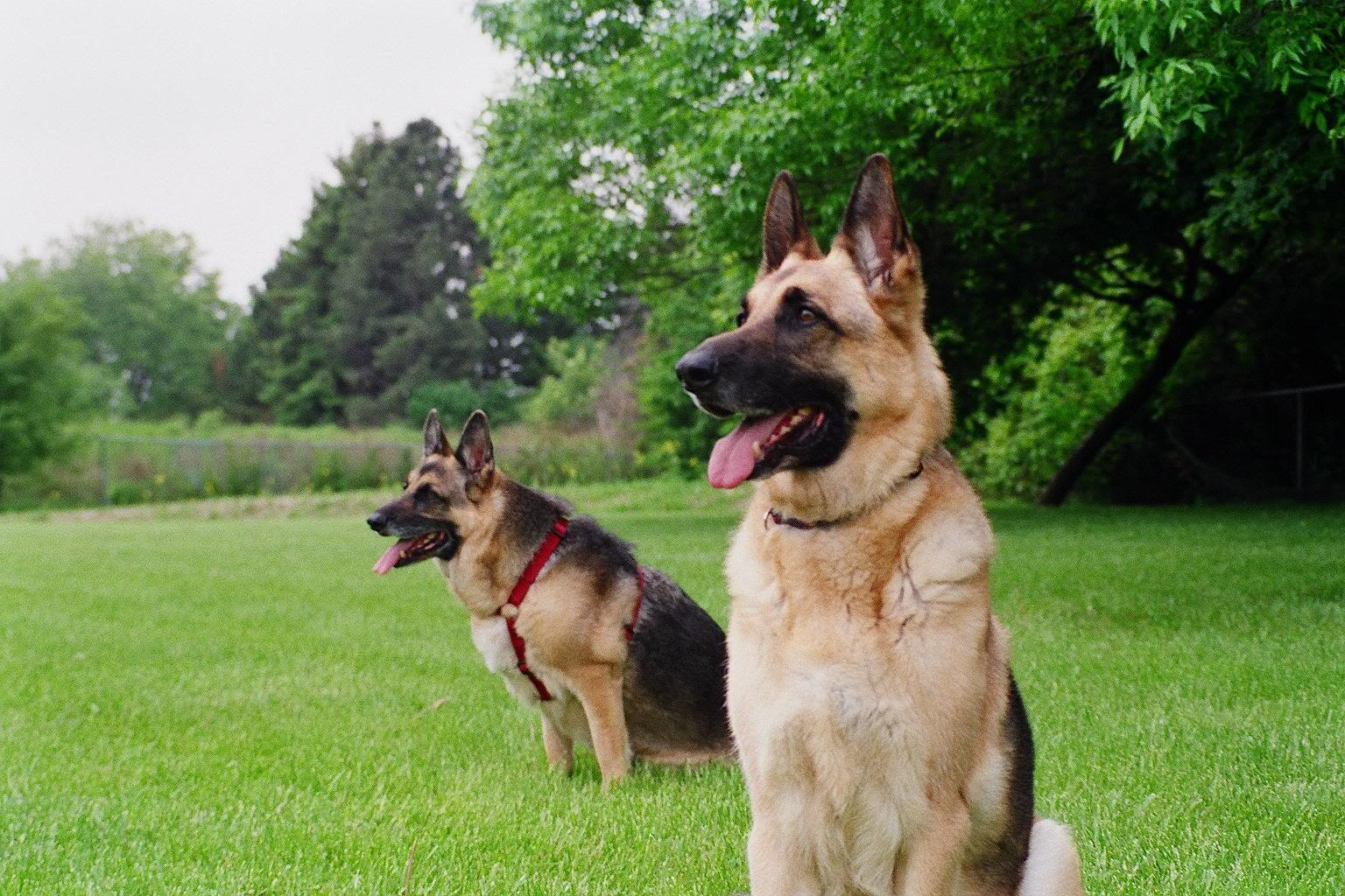 Guard Dogs Wallpapers Pets Cute And Docile