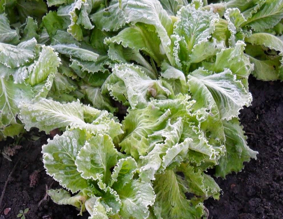 Салат после заморозка