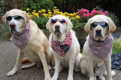three yellow Labs decked out in 4th of July scarves and sunshades