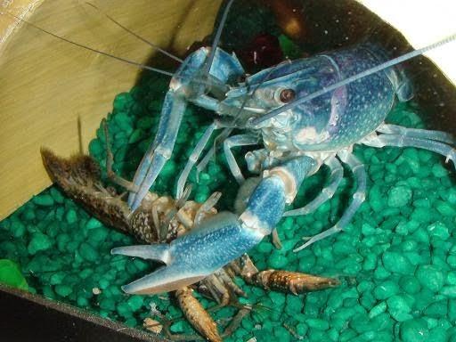 lobster kanibal
