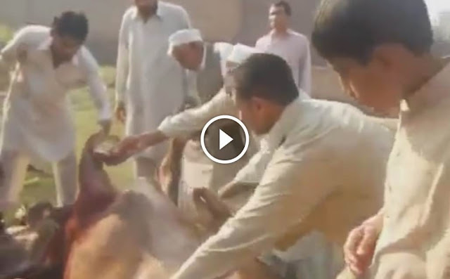 COW ATTACKING ON PEOPLE BEFORE EID QURBANI 2014 2013, COW ATTACKING ON PEOPLE BEFORE EID QURBANI 2014 2014,Cow runnig on road, bull ran away video, cow qurbani videos, cow pic 2014, cow eid, cow eid 2014, qurbani in pakistan, angry cow videos,