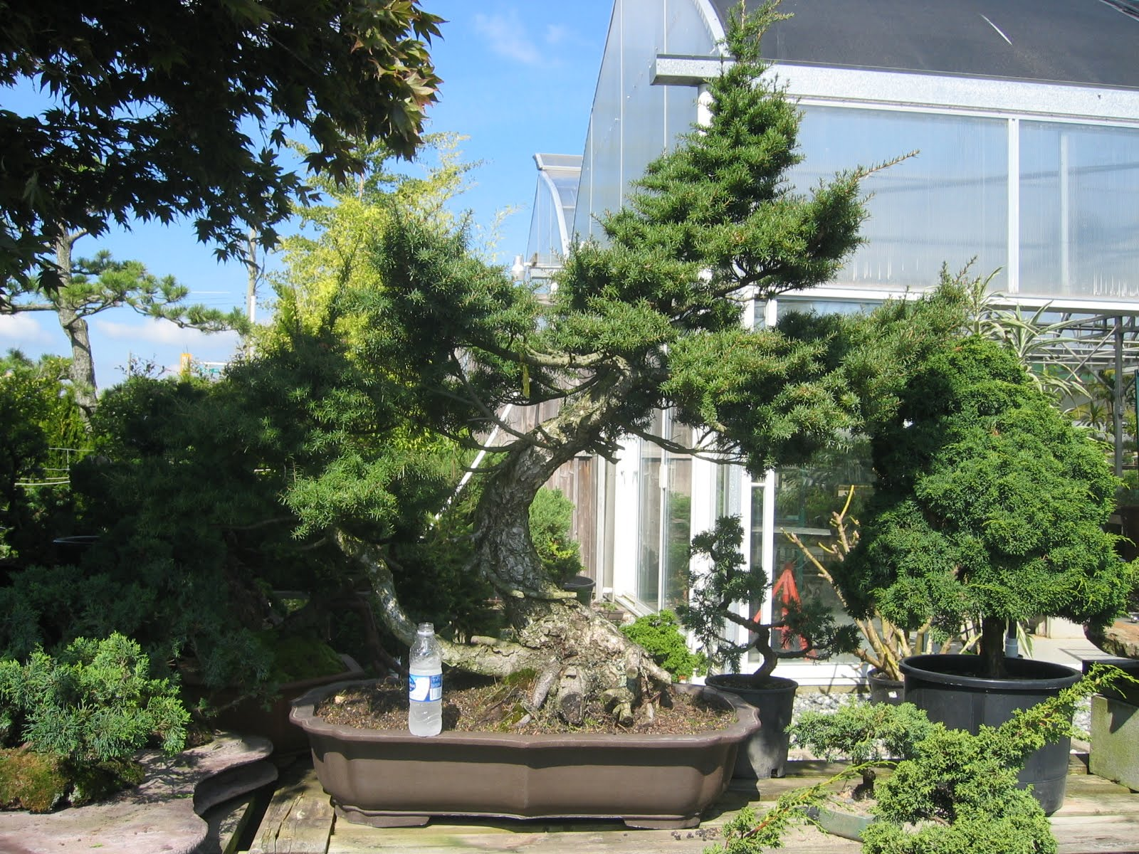 Woodland Bonsai Very Large Hemlock