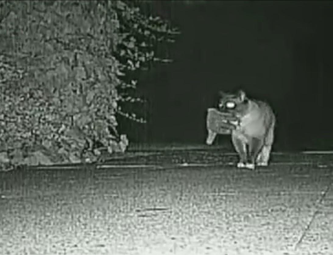 kucing mencuri