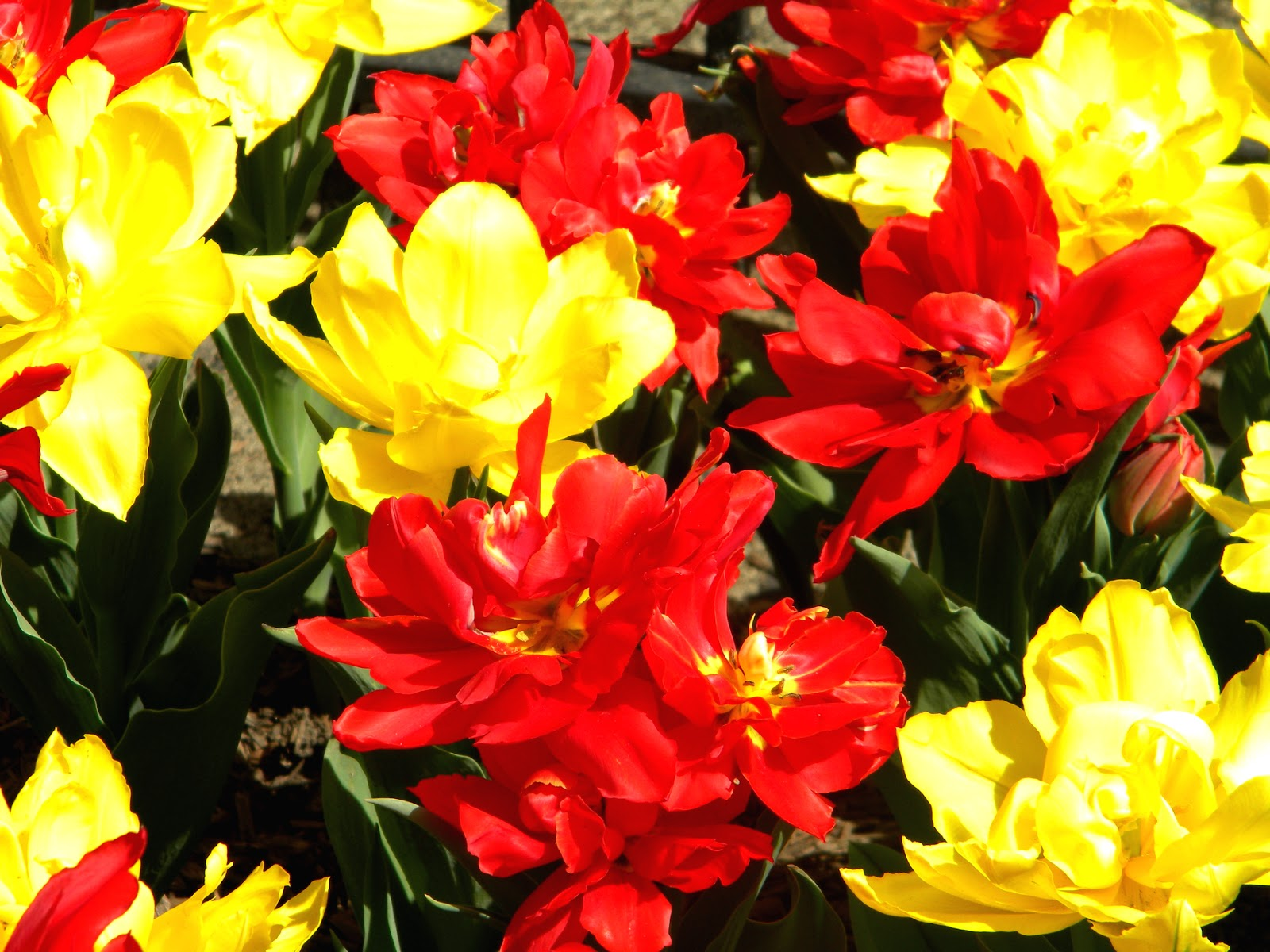 Red and Yellow Spring Flowers Chelsea, Manhattan