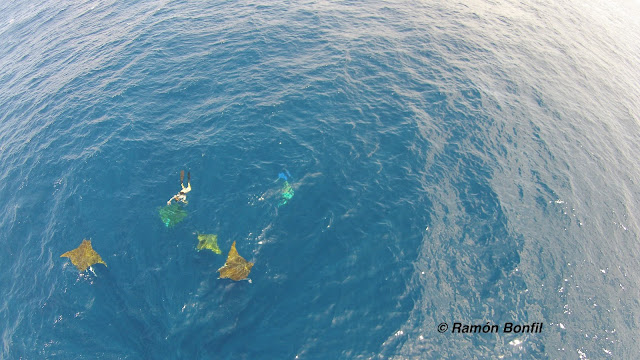aerial view (from drone) of five or more rays, with diver
