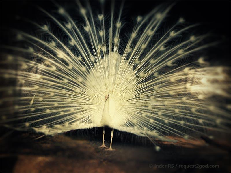 Birds, white peacock dancing
