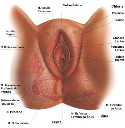 penis uretra vagina