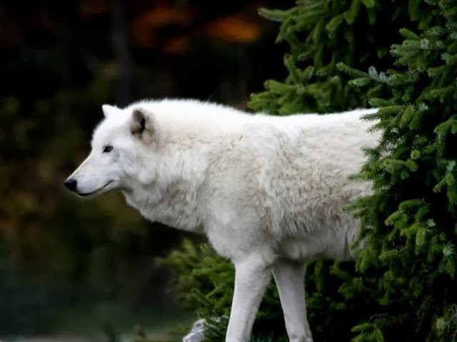 The Arctic wolf is a subspecies of the gray wolf (Canis lupus). Arctic wolves inhabit some of the most inhospitable terrain in the world where the air temperature rarely rises above -30 degrees C (-22 F) and the ground is permanently frozen.white wolf,arctic wolf,grey wolf