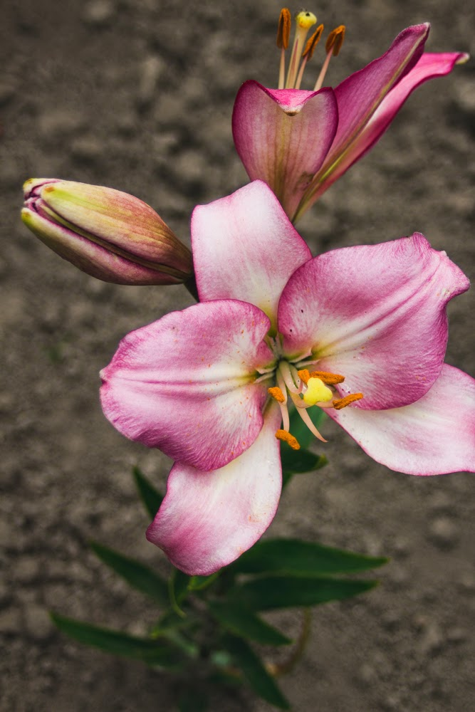 liliac ukraine village countryside sunlight summer flower