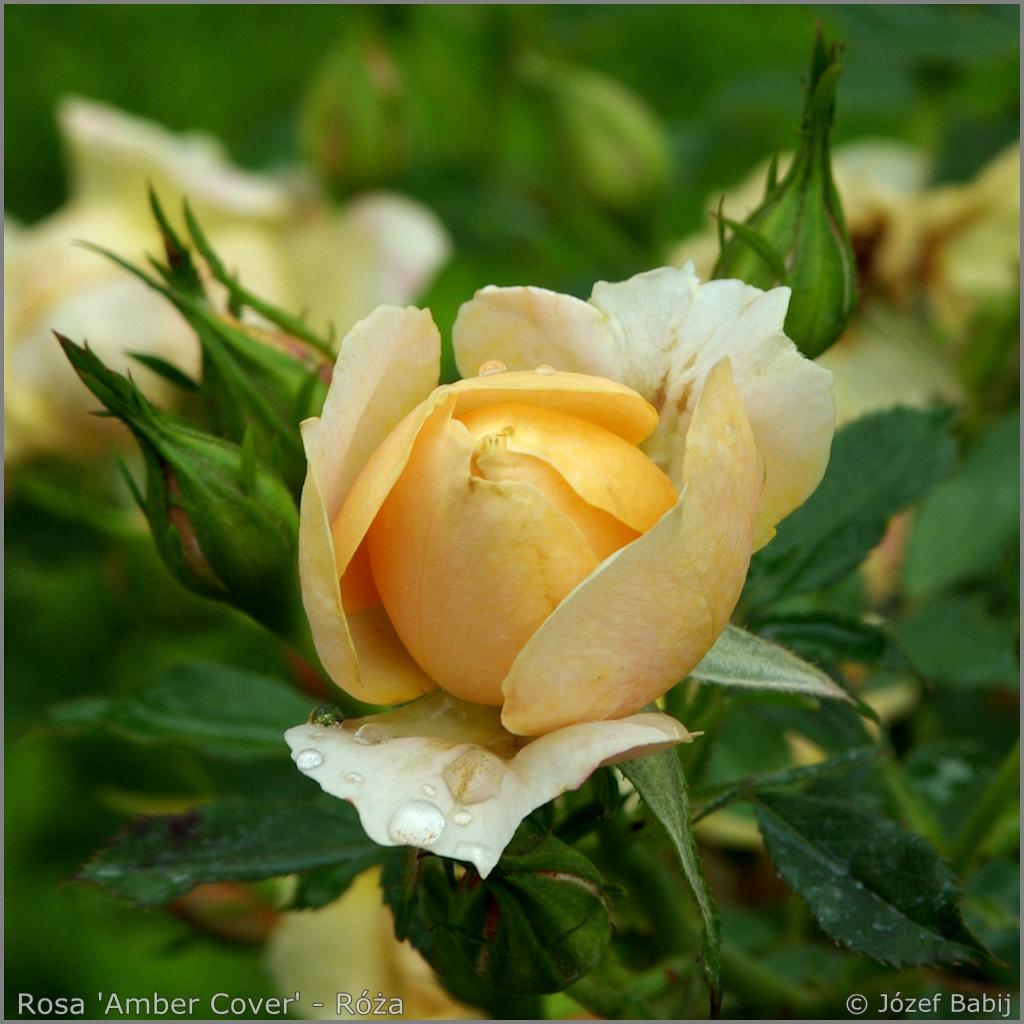 Rosa 'Amber Cover'    flower bud    - Róża 'Amber Cover'   pąk kwiatowy