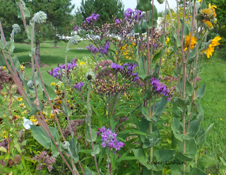Native Ironweed and Downy Sunflower Baldwinsville, NY