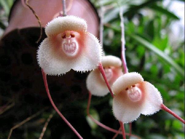 monkeyface+orchid.jpg