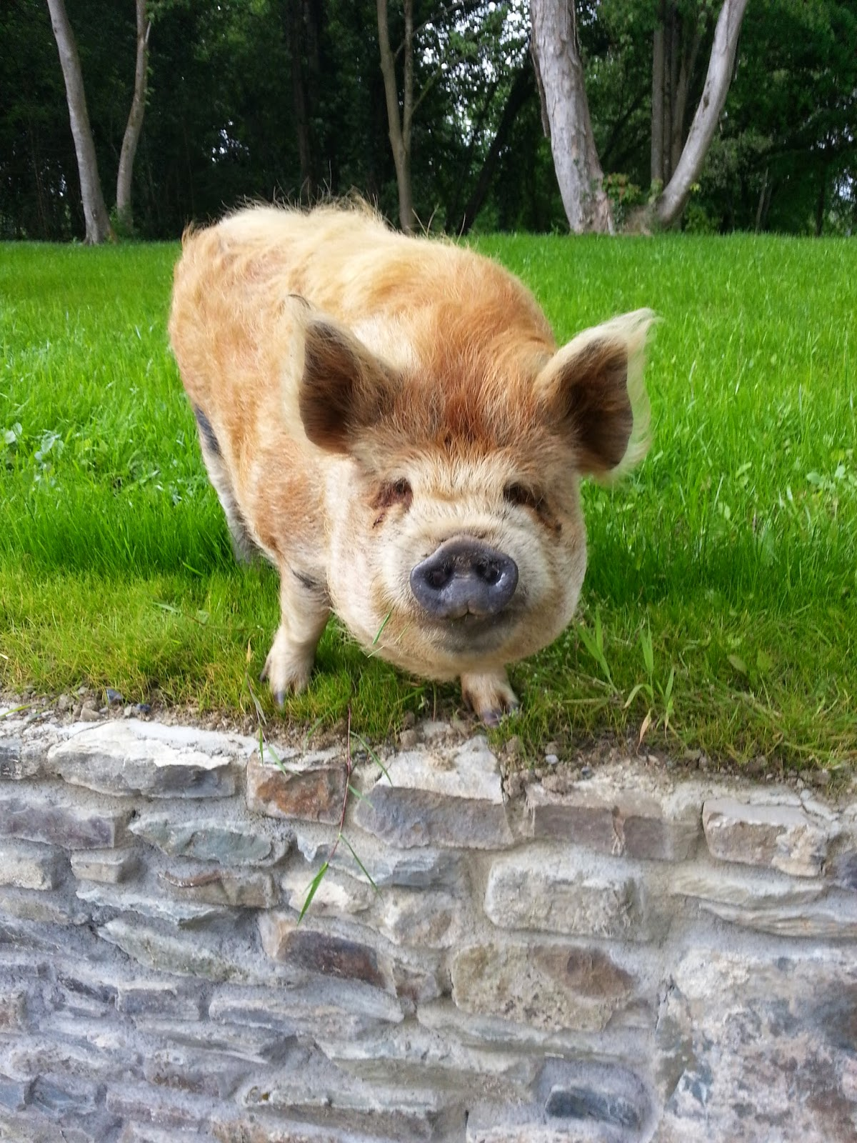 Picture of kune-kune pig