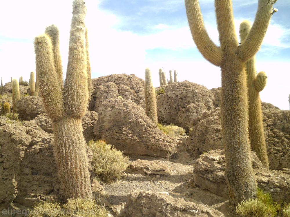 cactus, salar, uyuni