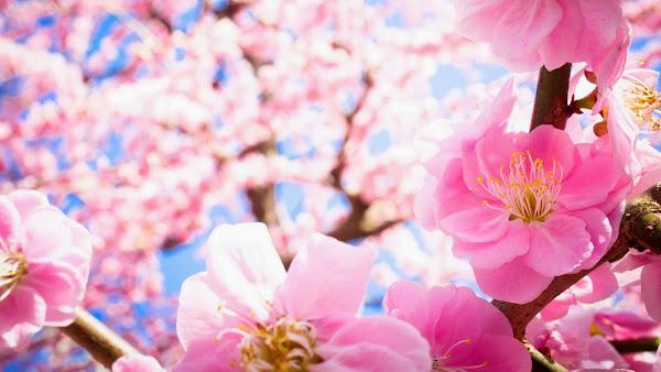 http://2.bp.blogspot.com/-EQnmPHm3bfw/UtNUTtywcwI/AAAAAAAAEGo/phoQE0X8jVo/s1600/Hoa+Dao+tet+15.jpg