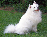 Pomeranian Dog Breeders Profiles and Pictures