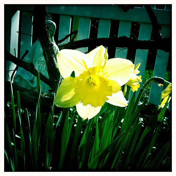 Easter-2011-Blooming-Daffodil
