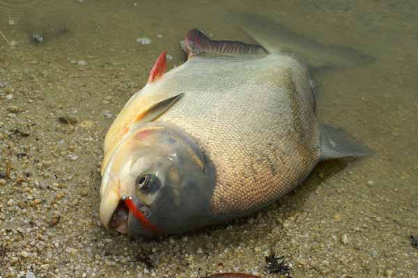 hook the shooter pacu fishing in malaysia