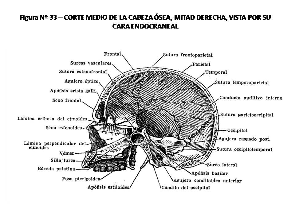 ATLAS DE ANATOMÍA HUMANA: 33. CORTE MEDIO VERTICAL DE LA CABEZA ÓSEA ...