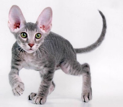 difference peterbald and sphynx