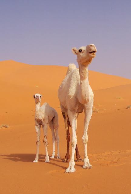 Bienvenidos al nuevo foro de apoyo a Noe #272 / 03.07.15 ~ 09.07.15 - Página 6 Camellos+Albinos+en+Ouargla,+Argelia...Imagen+de+Mustapha+Rahmani.