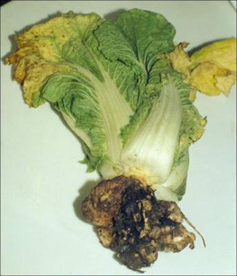 болезни капусты: кила