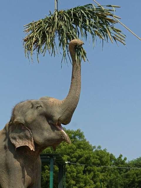 Raju foi decretado livre e não voltará a Mahout Foto: Wildlife SOS / Divulgação
