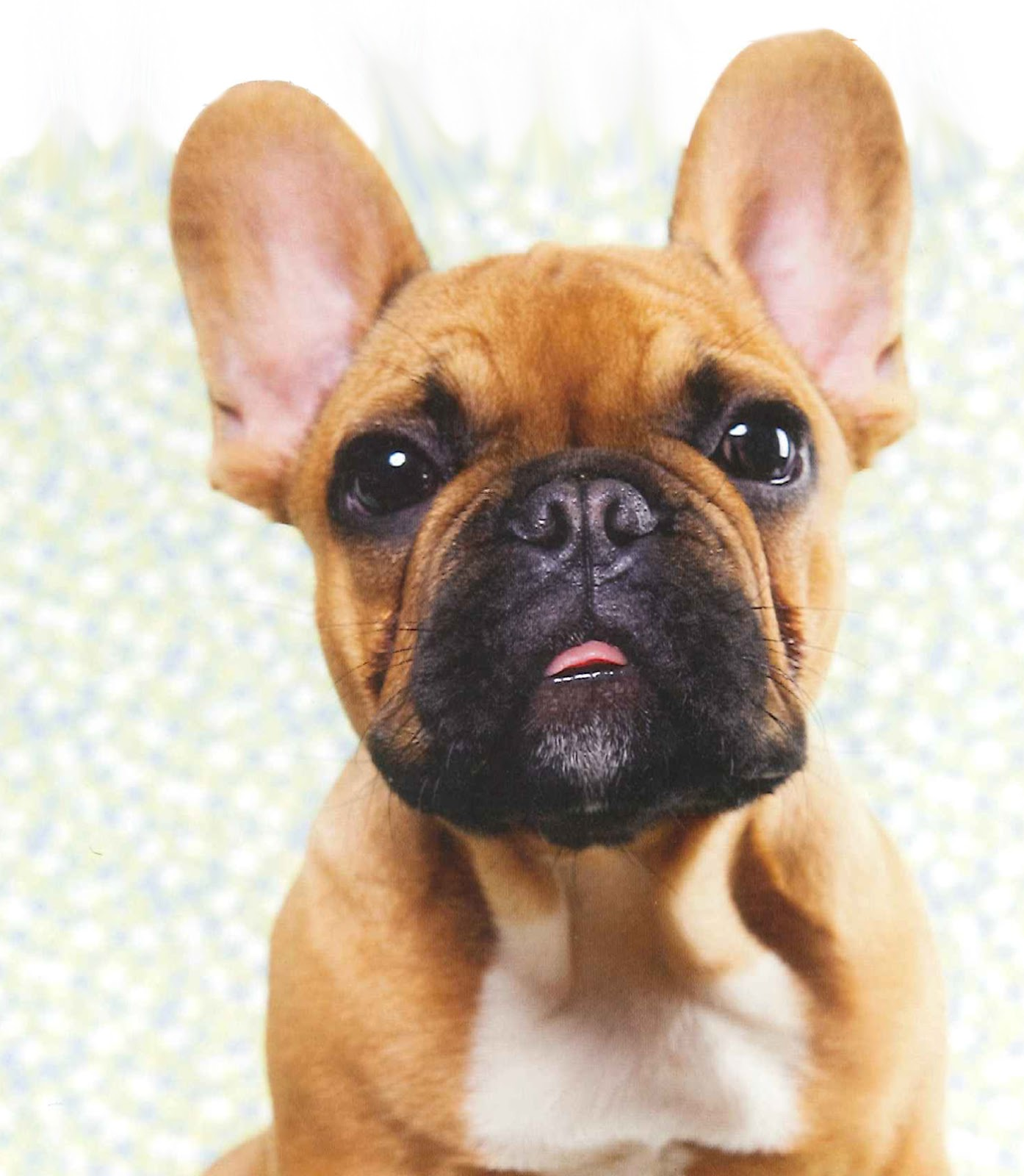 french bulldog  Dogs and Puppies Rehome Buy and Sell in