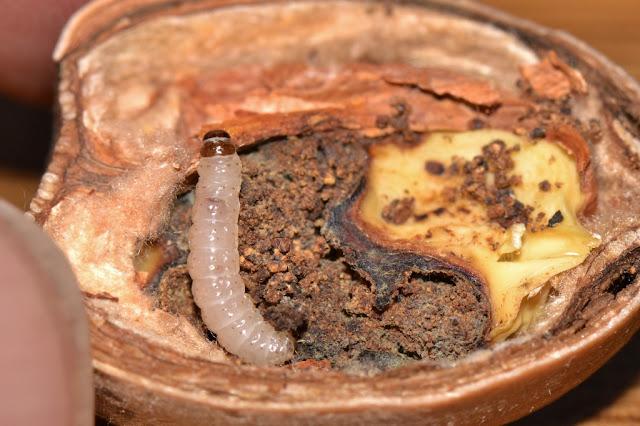 acorn moth caterpillar, Blastobasis glandulella in acorn