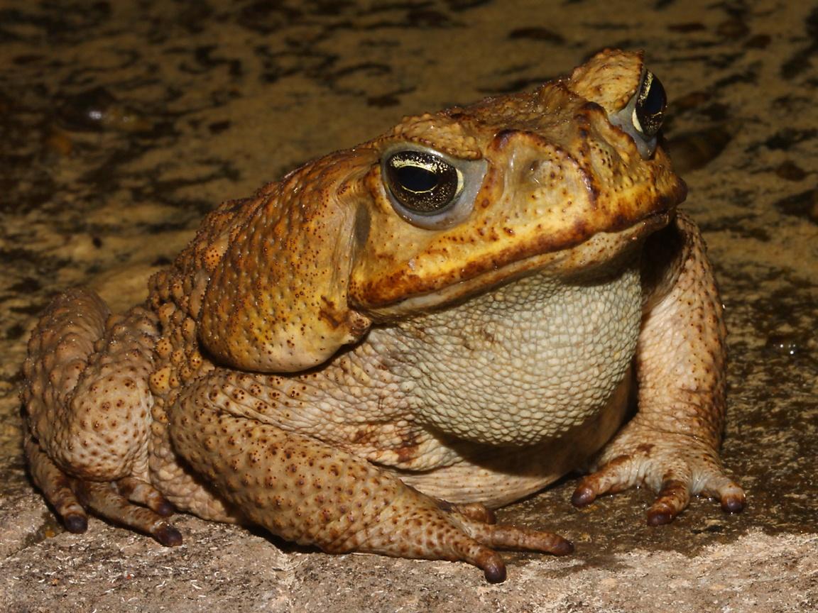 cane toad  life  animals