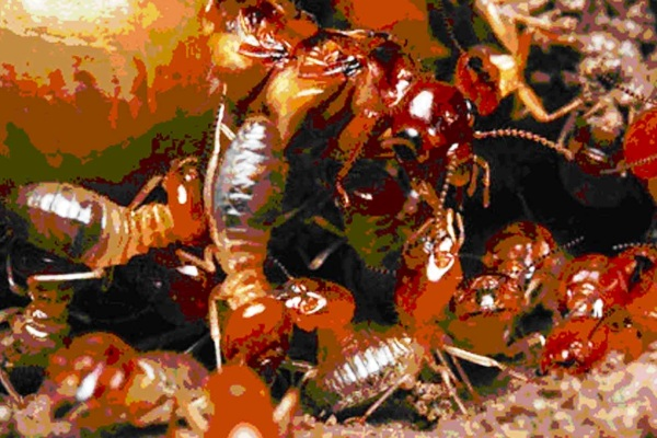 Serangga Rayap
