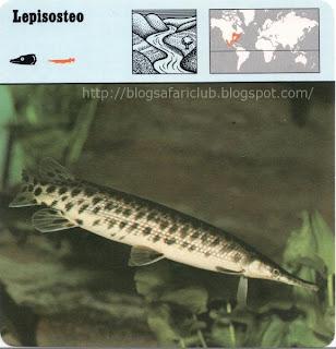 Blog Safari Club, el lepisosteo, una especie de Lucio de morro largo