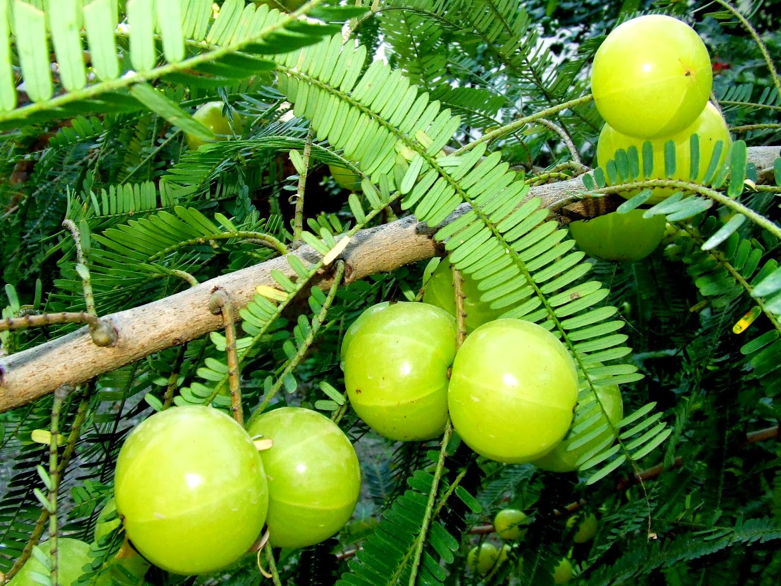 Benefits Of Amla (Phyllanthus Emblica) For Health
