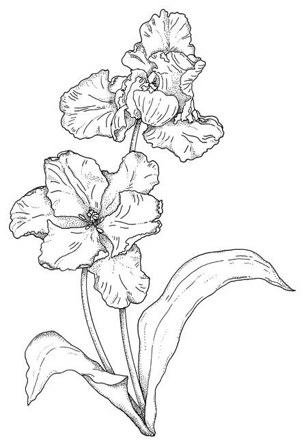 Line Drawing Tulip : Inkspired musings more tulip tales