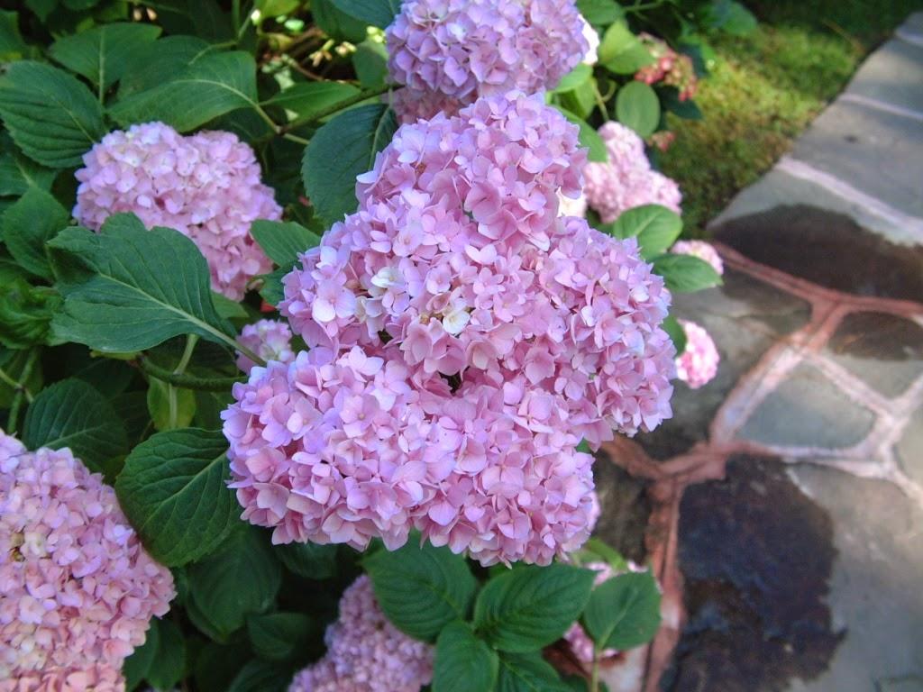 El blog de los pe otes las hortensias son solo para el - Plantas de sombra exterior ...