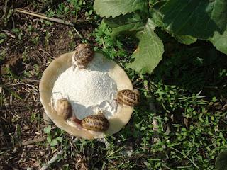 Venda de carac is o que comem os carac is for Caracol de jardin alimentacion
