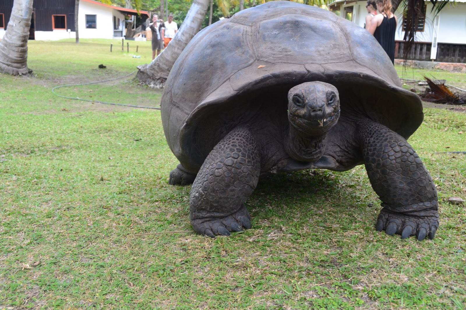 Giant Tortoise on Curious island