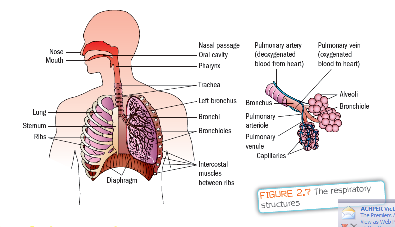 How does our respiratory system help protect us from the effects of by porf liwayway memije cruz ccuart Image collections