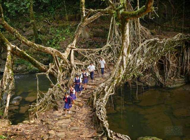 Live Root bridges are found in several places in India, and date back centuries.