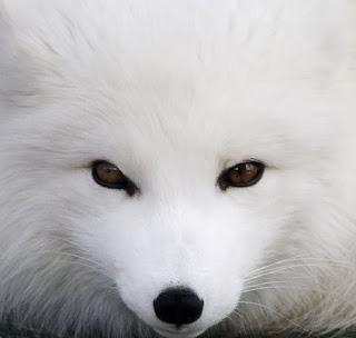 http://gubuk-fakta.blogspot.com/2013/12/hewan-kutub-yang-akan-berubah-warna.html