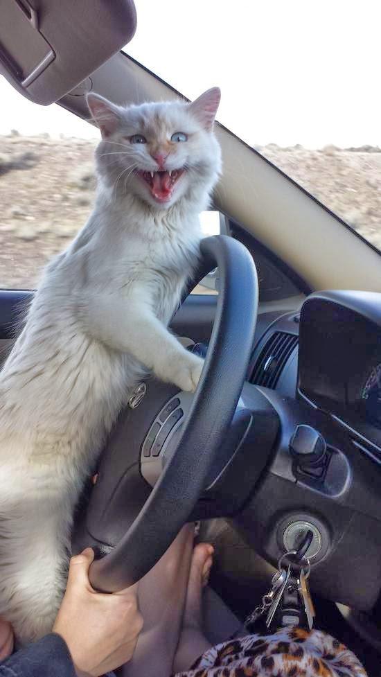 Смешной кот катается на машине