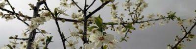Sakura, cerezos en flor
