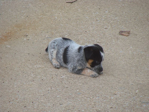 Blue Heeler Puppy Pictures are one of the best breed to adopt as a pet ...