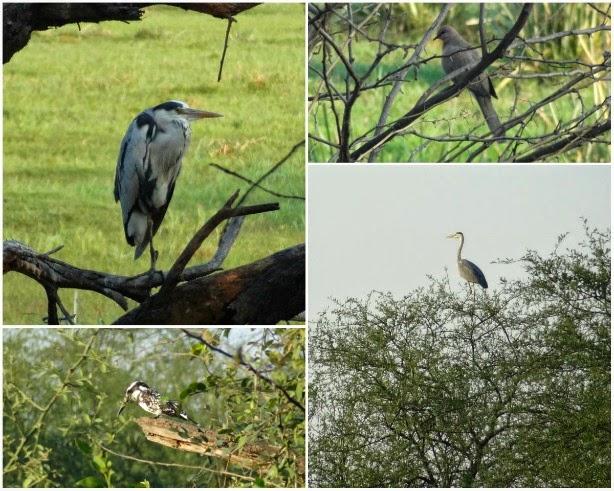 oiseau migrateur martin pecheur grue heron inde keoladeo parc national