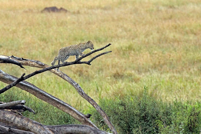 Leopard cub on the Serengeti