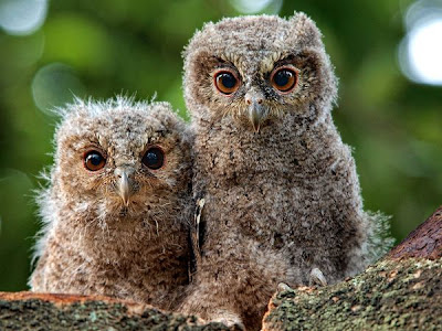 Owl pair Love Animals Pictures