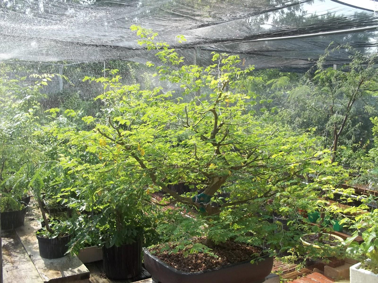 Bent Tree Bonsai May 2013