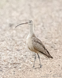 Long-billed Curlew, Saskatchewan, Canada  Photograph © Shelley Banks, all rights reserved.