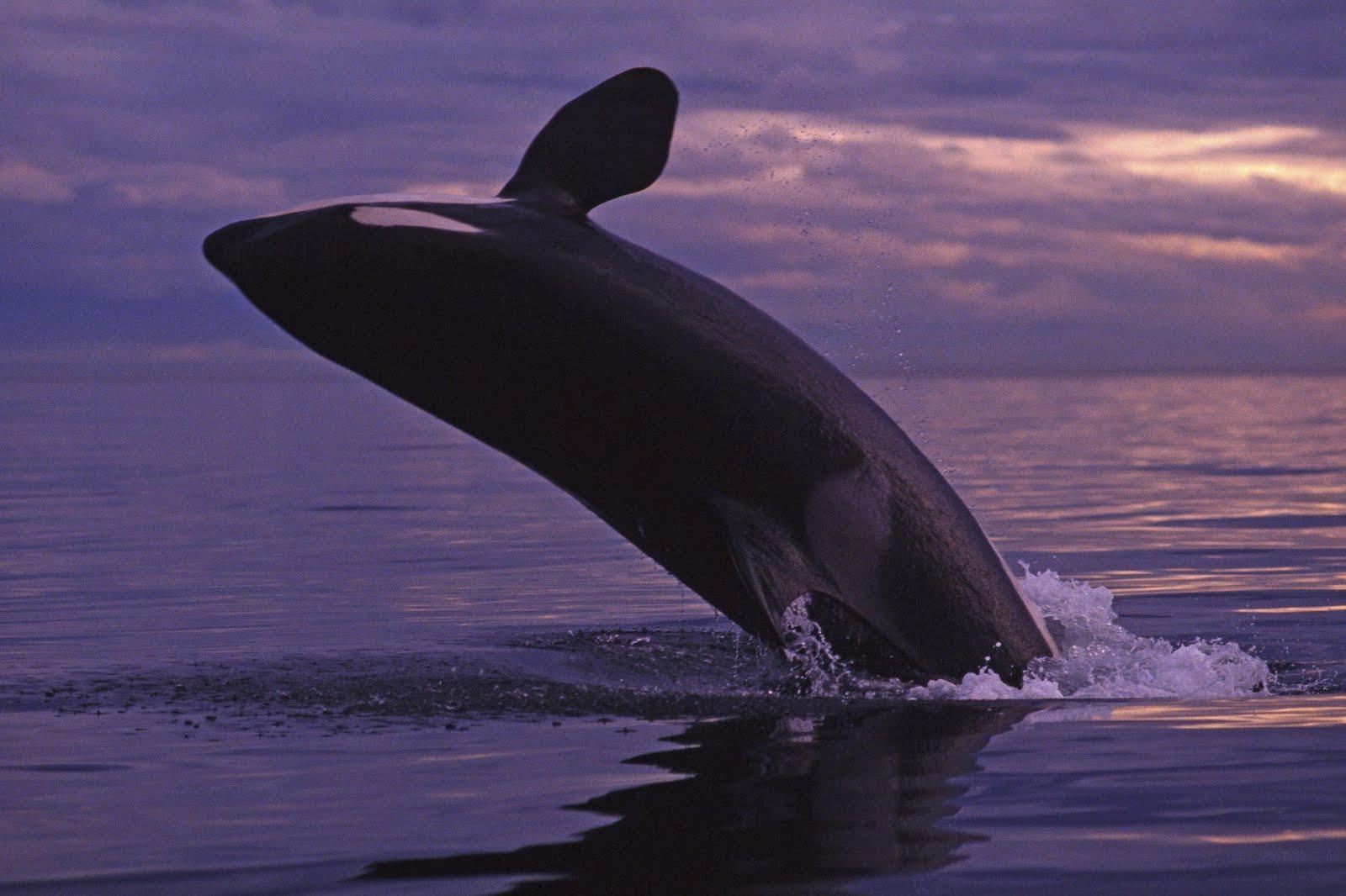 The killer whale movie whales orca the killer whale movie whales altavistaventures Images