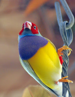 Gouldian Finch Bird Pictures